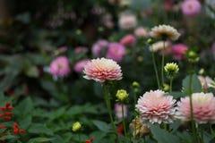 Roze Dahlia met groen blad op achtergrond Royalty-vrije Stock Foto