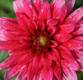 Roze dahlia na regen Royalty-vrije Stock Afbeeldingen