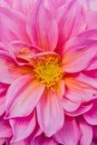 Roze dahlia's Royalty-vrije Stock Foto's