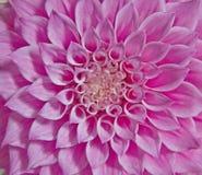 Roze dahliabloem Stock Foto's