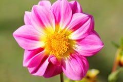 Roze dahliabloem Stock Foto