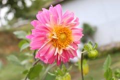 Roze Dahliabloem in de berg van Himalayagebergte stock afbeelding