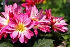 Roze dahliabloemen Royalty-vrije Stock Foto