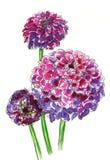 Roze dahliabloemen in boeket Royalty-vrije Stock Afbeelding
