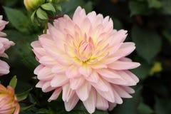 Roze Dahliapinnata Cav in Tuin Royalty-vrije Stock Foto's