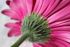 Roze Daisy Royalty-vrije Stock Fotografie