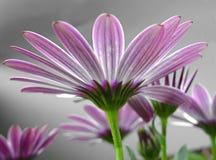 Roze Daisy royalty-vrije stock afbeeldingen