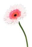 Roze Daisy Stock Afbeelding