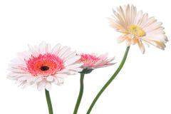 Roze Daisy Stock Afbeeldingen