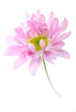 Roze Daisy Flower Daisies Floral Flowers Stock Afbeelding
