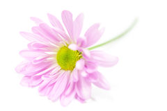 Roze Daisy Flower Daisies Floral Flowers Royalty-vrije Stock Fotografie