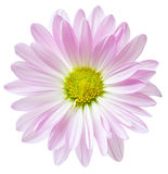 Roze Daisy Flower Daisies Floral Flowers Royalty-vrije Stock Afbeelding