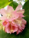 Roze Dame Flower: Zoet & Licht Stock Foto