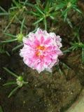 Roze dasbajiya Stock Foto's