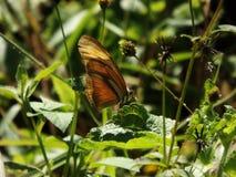 Roze de aardkleuren van de vlinderbloem Royalty-vrije Stock Afbeelding