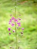 Roze de Bergbloemen van Epilobium Angustifolium Royalty-vrije Stock Foto's