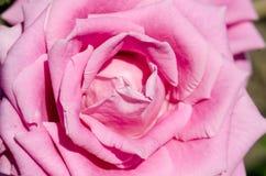 Roze de bloem nam close-upmacro toe stock fotografie