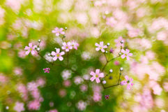 Roze, de bloesems van de lentebloemen op bokehachtergrond Stock Foto
