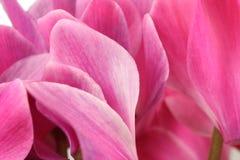 Roze de cyclaamachtergrond van bloemknoppen stock fotografie