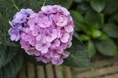 Roze de Hydrangea hortensiabloem van de hartvorm Stock Foto's