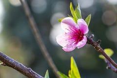 Roze de kersenbloesem van maart royalty-vrije stock foto