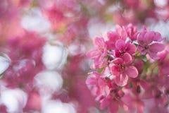Roze de lente achtergrondbloesembloem Stock Afbeeldingen