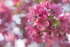 Roze de lente achtergrondbloesembloem Stock Foto's