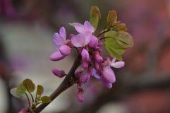 Roze de lentebloem Stock Foto