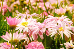 Roze de lentebloemen in de tuin Stock Foto's