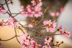 Roze de Lentebloemen met Hun Boom op de Achtergrond Royalty-vrije Stock Foto's