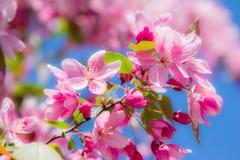 Roze de lentebloemen op een boom Stock Foto