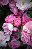 Roze de lenterozen Royalty-vrije Stock Foto's