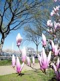 Roze de magnoliabloesems Maart 2010 van Washington Stock Afbeelding