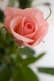 Roze de pastelkleur nam toe Royalty-vrije Stock Foto
