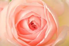 Roze de pastelkleur nam toe Stock Afbeelding
