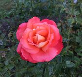 Roze de perzik nam met geel centrum toe Royalty-vrije Stock Afbeeldingen