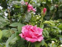 Roze de schoonheid nam toe royalty-vrije stock fotografie
