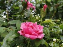 Roze de schoonheid nam toe stock afbeelding