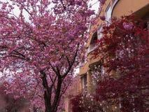 Roze de straatachtergrond van de kersenbloesem stock fotografie