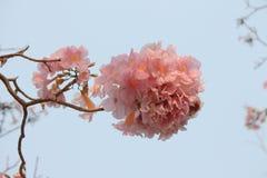 Roze de trompetboom van Sweety Royalty-vrije Stock Afbeelding