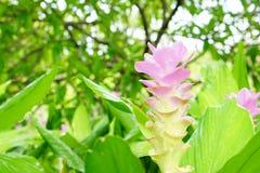 Roze de tulpenbloem van Siam met bokeh zacht licht Stock Fotografie