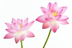 Roze de waterleliebloem van Twain (lotusbloem) en witte bac Stock Foto