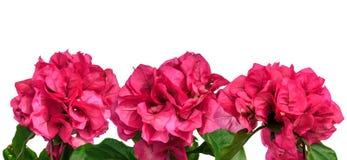 Roze de zomerbloemen geïsoleerde grens Stock Afbeeldingen