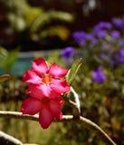 Roze desertrose en purpere blauwe petunia op achtergrond Royalty-vrije Stock Foto's