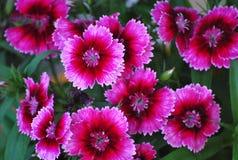 Roze Dianthus stock afbeeldingen