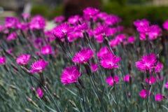 Roze Dianthus Stock Fotografie