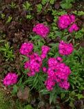 Roze Dianthus-bloemen Stock Foto