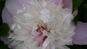 Roze dichte omhooggaand van de pioenbloem op het bloembed HD videolengte statische camera stock footage