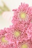 Roze dichte omhooggaand van het madeliefjeboeket Stock Fotografie
