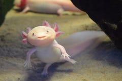 Roze die axolotl ook als het lopen van vissen wordt bekend royalty-vrije stock afbeeldingen